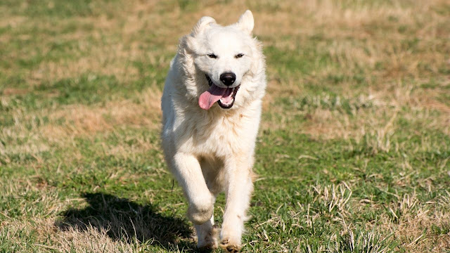Train Your Great Pyrenees for Your Children