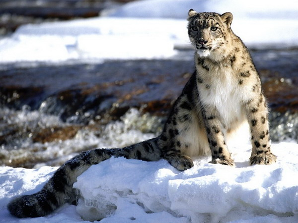 Snow Leopard spotted in the Sagarmatha National Park