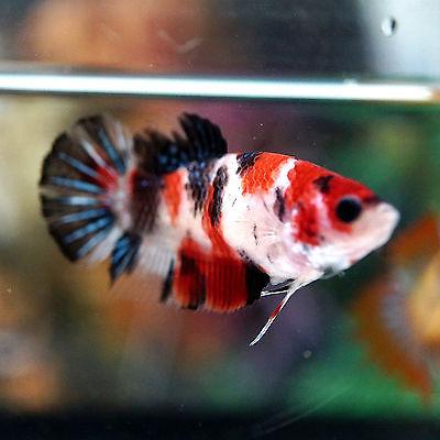 60 Gambar Ikan Cupang Fancy Koi Terbaik