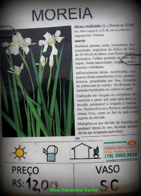 mudas MOREIA - ( Dietes iridioides )