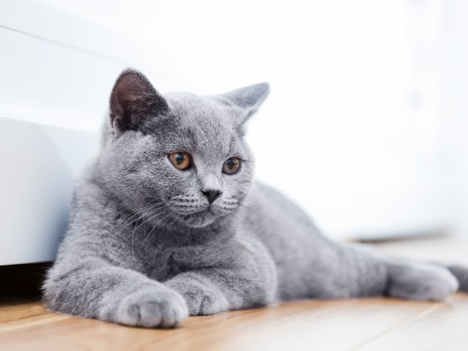 British Shorthairs♥