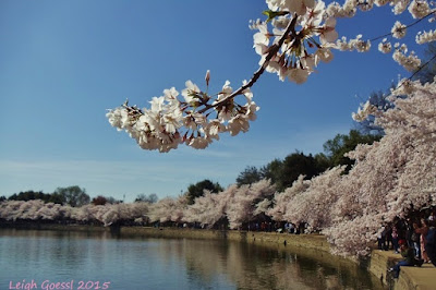 Washington DC famous cherry blossoms at Tidal Basin