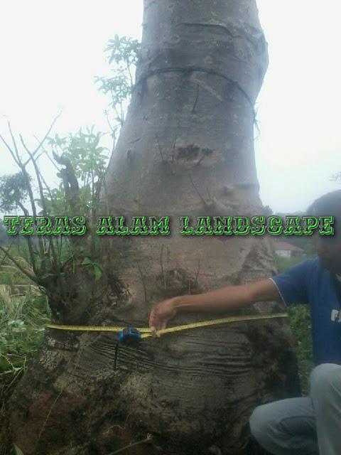 jual pohon ki tambleg kaki gajah
