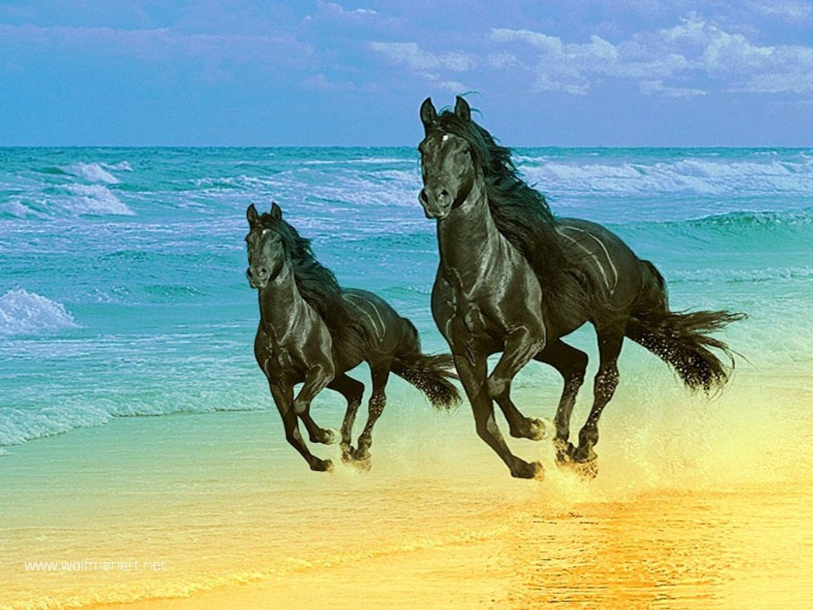 Black Horses Wallpapers