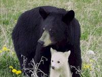 Urso Albino