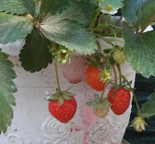 Bibit tanaman unggul - bibit strawberry yang siap tanam adalah bibit yang sudah berusia sekurangnya 2 minggu pasca dipotong dari belalai batang pohonnya, atau setelah memiliki daun minimal 3 lembar. Sebab, usia tersebut sudah cukup bagi bibit tanaman strawberry untuk beradaptasi dengan tanah baru. Kualitas bibit strawberry unggul akan menghasilkan panen buah yang bagus dan warna yang cantik.