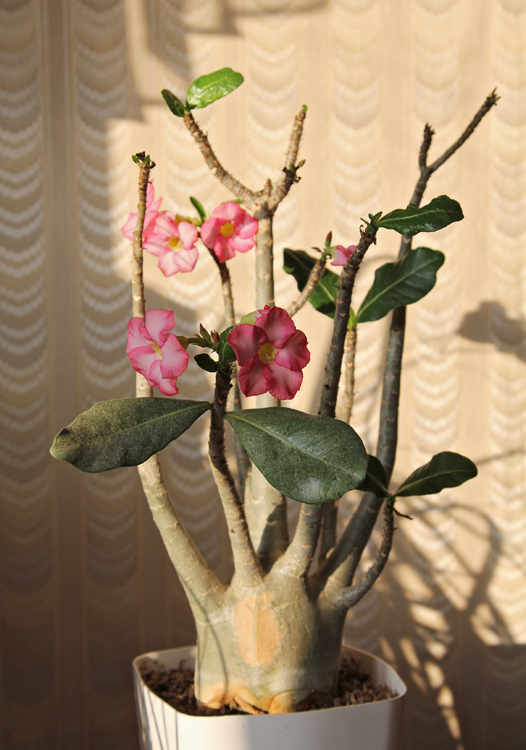 "Adenium arabicum ""Black Giant"" х Adenium Thai-socotranum ""Golden Crown"""