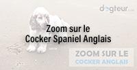 Zoom sur le Cocker Spaniel Anglais
