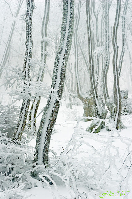Hayedo nevado, helado y con niebla.