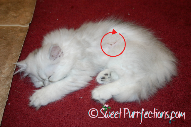 small silver shaded persian kitten with an incision to remove a fibrosarcoma