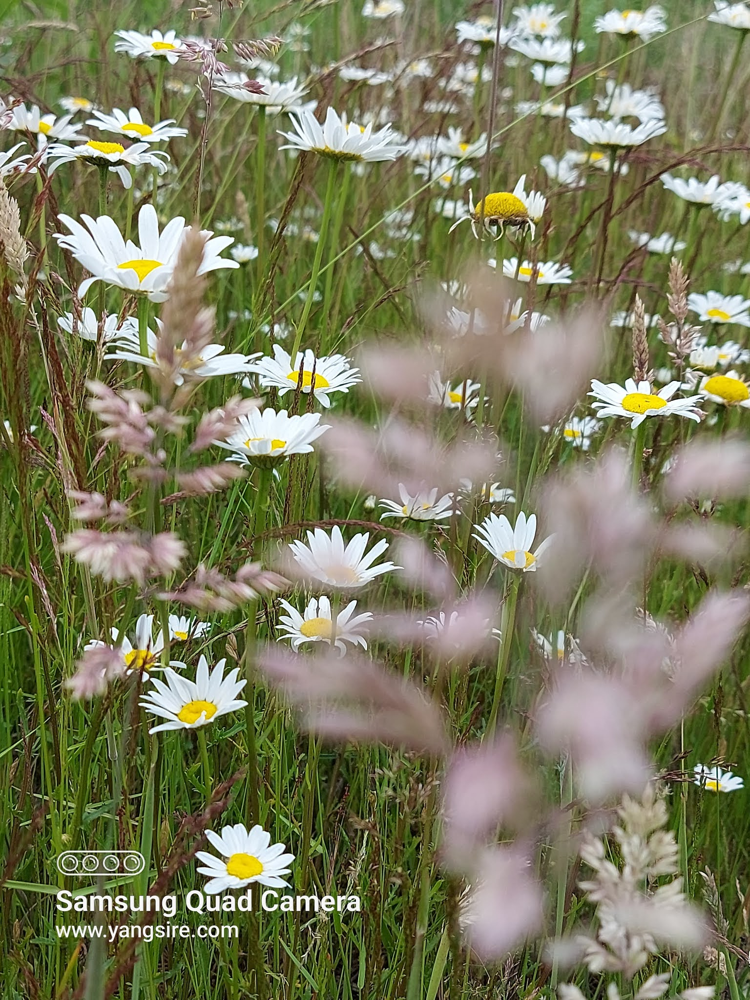 Beautiful photos of the fields of daisy