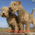 The Modern Rules Of Information About Welsh Terrier Dogs