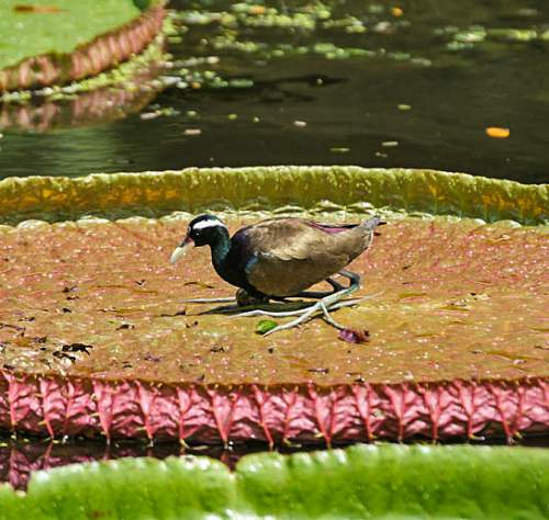 Birds of India - Image of Bronze-winged jacana - Metopidius indicus