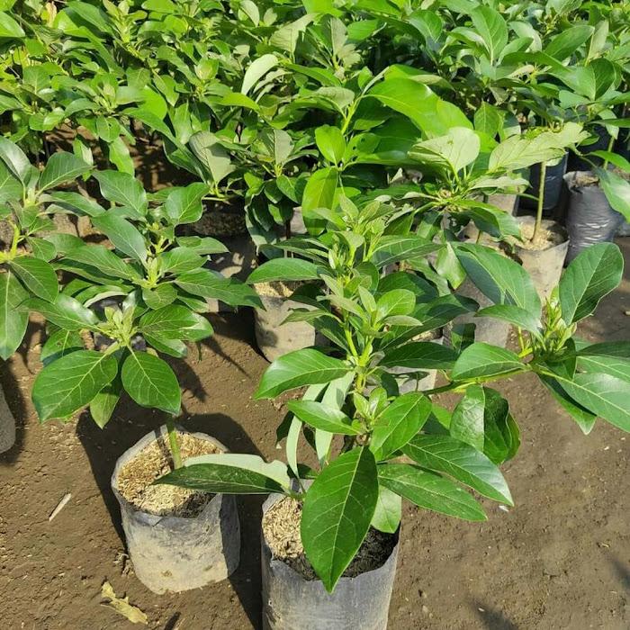 Bibit buah alpukat markus super Sumatra Barat