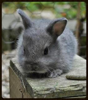 mon-petit-lapin-nain-gris