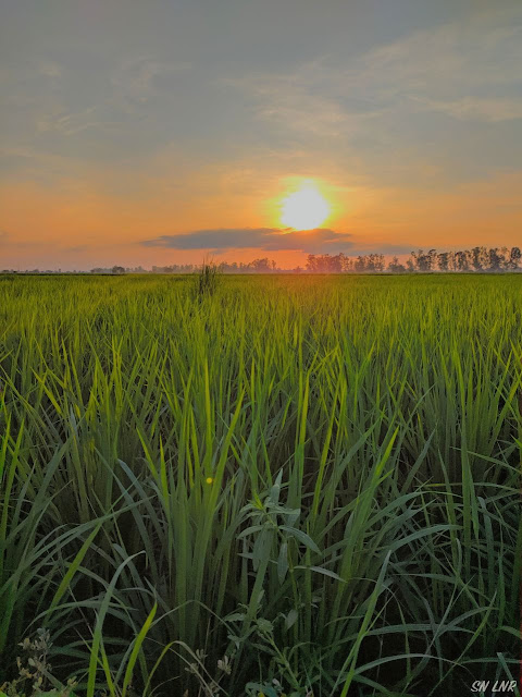 Индия рис закат
