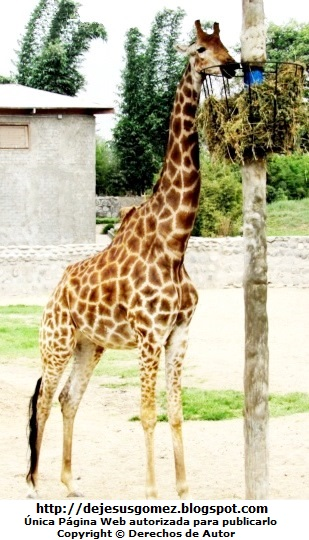 Foto de Jirafa disfrutando de su comida en el Parque Zoológico de Huachipa. Foto de Jirafa de Jesus Gómez