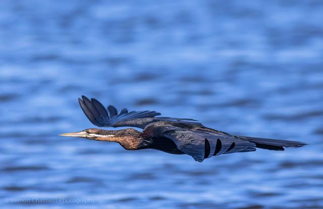 African Darter in Flight over the Diep River, Woodbridge Island