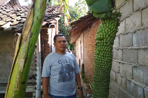 pohon pisang berbuah seribu gegerkan warga cirebon