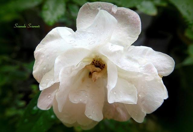 Rosa con gocce di pioggia