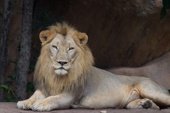 Pemburu Gelap Cula Badak Tewas Diterkam Singa