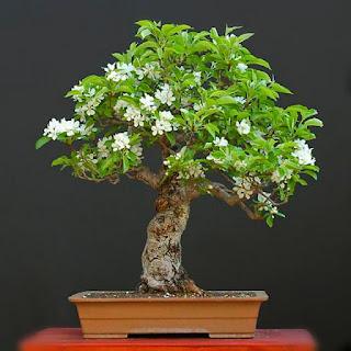 penyebab-bahan-bonsai-mati.jpg