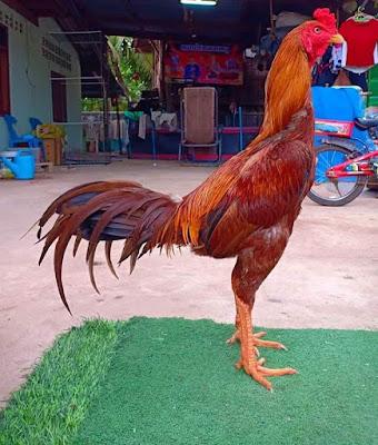 Foto Ayam mangon