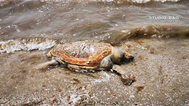 Συνεχίζεται η γενοκτονία των θαλάσσιων χελωνών στον Αργολικό Κόλπο (βίντεο)