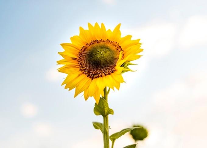 Sunflower images. FULL HD 3000px