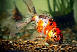 Klasifikasi Ikan Koki dan Morfologi Ikan Koki (Carassius Auratus)