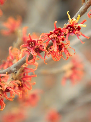 Hamamelis x intermedia Diane witch hazel late winter blooms at Allan Gardens by garden muses-not another Toronto gardening blog