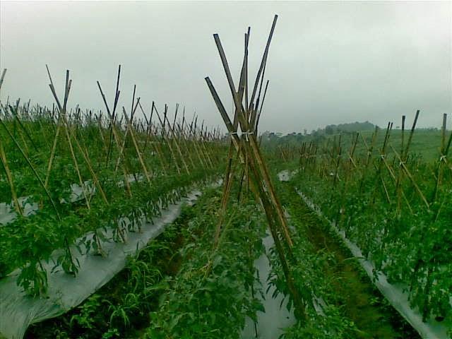 Foto(5204) Jual Tanah Milik | Kebun 23 Ha, Lokasi Puncak jual tanah di puncak
