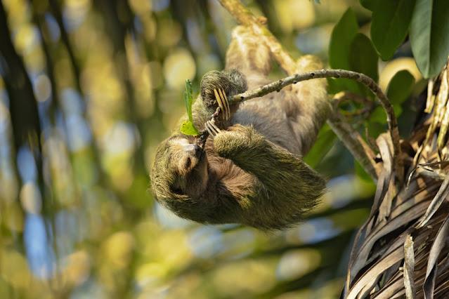 Bentinho sloth