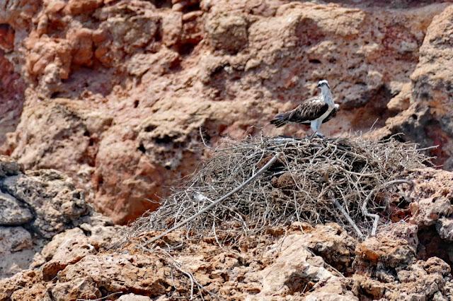 adler, seeadler, eagle, daymaniyat, islands, inseln, oman, Muscat