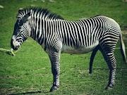 Alasan Kenapa Zebra Tidak Dipelihara Seperti Kuda?