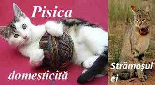 Domesticire pisica