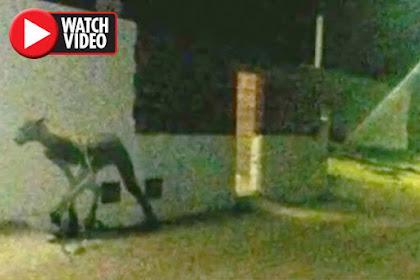 Usai Serang Dua Anjing, Hewan Misterius Terekam Kamera
