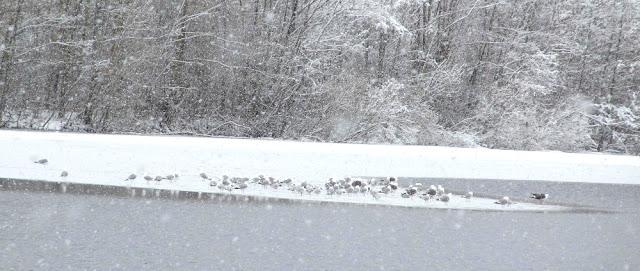 чайки на льдине