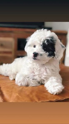 What is Micro Sheepadoodle