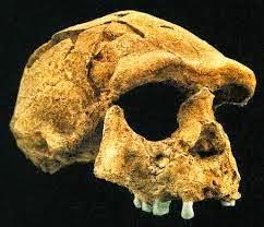 4 Jenis Manusia Purba Pithecanthropus Dan Ciri Cirinya Gambar Serte Penjelasan Lengkapnya Kata Ilmu