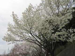 3月23日 桜だより