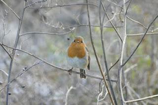 Grumpy Territorial Robin