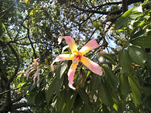 Fiore Ceiba