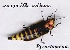Pyractomena