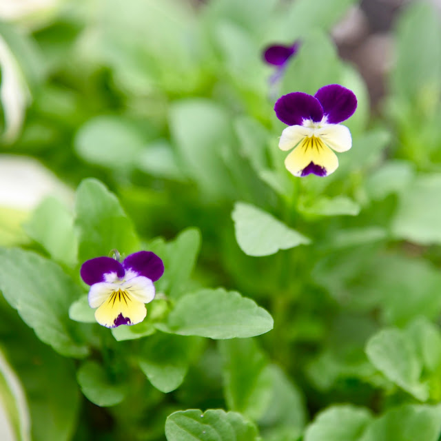 Purple and yellow violas in my garden