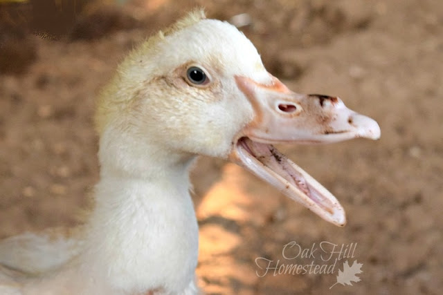 Juvenile Muscovy duckling