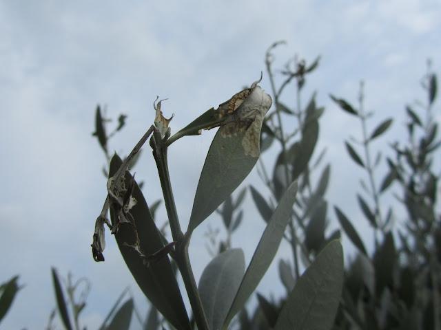 Foglie Olivo colpite da Margaronia