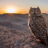 Info tentang Burung Hantu || Owl || Koko Beluk || kokobeluk.com
