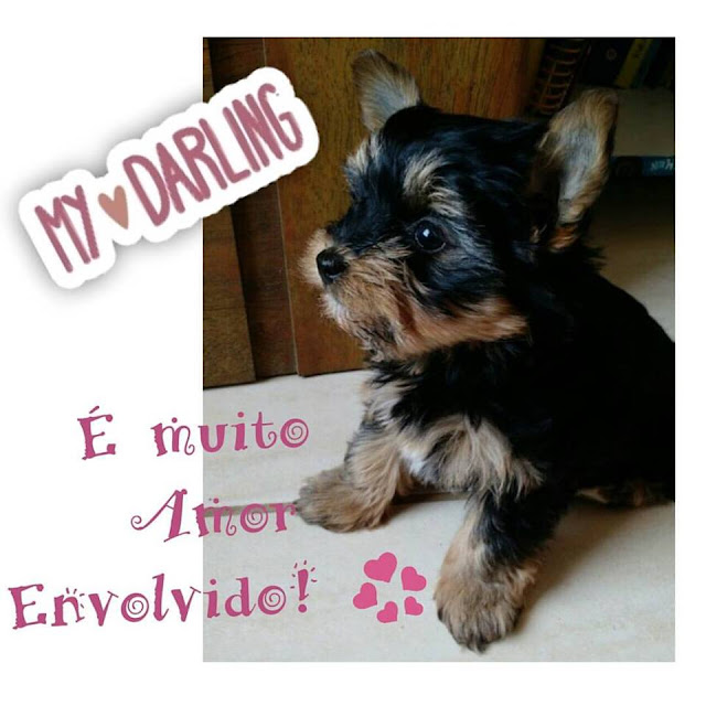 Dicas, Pets, Yorkshaire Terrier, Assessoria de Imprensa, Adaptação, Animais, Femea, Preta Azulada,