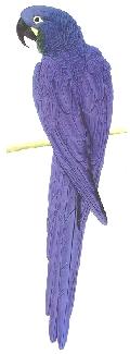 Arara Azul Pequena (Anodorhynchus glaucus)